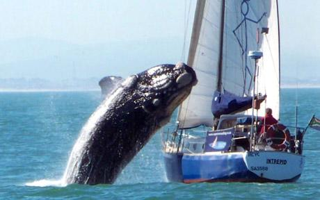 40-ton whale lands on yacht